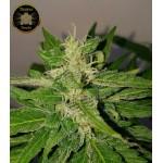 Deep Purple Haze Auto | Autoflower | Sumo Seeds | 3 seeds