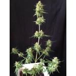 Sumo's OG Kush Auto | Autoflower | Sumo Seeds | 3 seeds